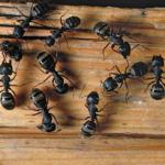 Борьба с муравьями в доме народными средствами
