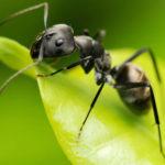 Борьба с муравьями на огороде народными средствами
