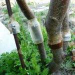 Как бороться с муравьями на плодовых деревьях