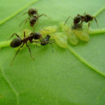 Как избавиться от муравьев в саду