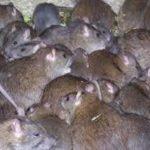 Как бороться с крысами и мышами